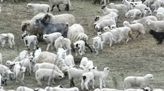 Flock of sheep with lams Stock Footage