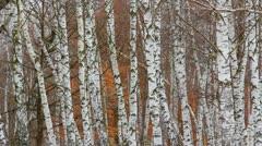 Birch trunks in cold season Stock Footage