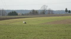 Far away stork resting on green field Stock Footage