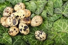 Nest of quail eggs among green leaves Stock Photos