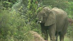Elephant eating - HD Stock Footage