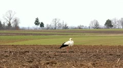 Lonely stork resting on a spring green fertile field Stock Footage