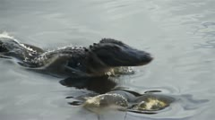 Alligator Strike - stock footage