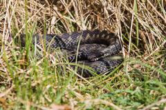 Adder snake Stock Photos