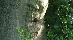 Green Woodpecker, Picus viridis creeps up on tree trunk towards nest hole Stock Footage