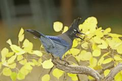 steller's jay (cyanocitta stelleri) sitting on a tree - stock photo
