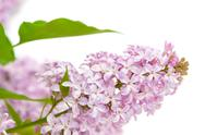 Stock Photo of lilac with green leaves