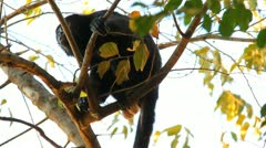 Howler Monkeys 11 Stock Footage