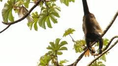 Howler Monkeys 6 Stock Footage