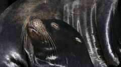 Sea Lion with Uplifted Face to Sun - close with audio Stock Footage