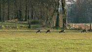 Deers grazing Stock Footage