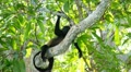 Howler Monkeys 14 HD Footage