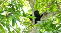 Howler Monkeys 17 HD Footage