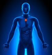 Medical Imaging - Male Organs - Thymus Stock Photos