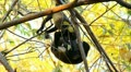 Howler Monkeys 12 Footage