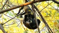 Howler Monkeys 12 Stock Footage