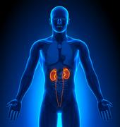 Medical Imaging - Male Organs - Kidneys Stock Photos