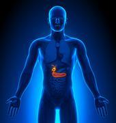 Medical Imaging - Male Organs - Gallbladder / Pancreas - stock photo