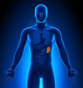 Medical Imaging - Male Organs - Spleen - stock photo