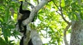 Howler Monkeys 13 HD Footage