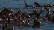 Stellar Sea Lions Sunning and Drifting in Group - Close High Angle Stock Footage