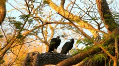 Black Vultures 1 Stock Footage