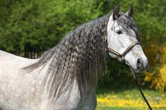 carthusian horse the purest line of pura raza espanola - stock photo