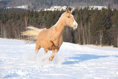Czech warmblood, 10 years old mare Stock Photos