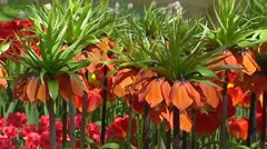 ORANGE Fritillaria imperialis, Crown Imperial in bloom. Stock Footage