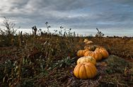 Stock Photo of Pumpkins field