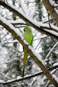 collared parakeet, a forest of France - stock photo