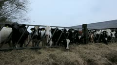 Cows or Cattle Feeding on Farm Stock Footage