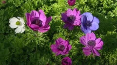 Anemone in white ,pink, blue, purple - full screen Stock Footage