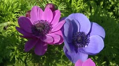 Anemone in pink and blue.  - full screen Stock Footage