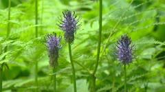 Black Rampion, Phyteuma nigrum, blooming Stock Footage