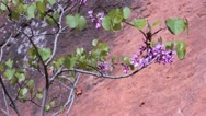 Purple desert flower Stock Footage