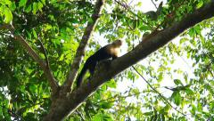 Capuchin Monkey 1 Stock Footage