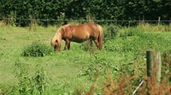 Light Brown Colored Shetland Pony Grazing in the Meadow - 25FPS PAL Stock Footage