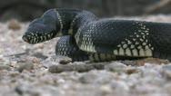 Kingsnake Close Up Stock Footage