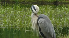 Grey heron (Ardea cinerea) posting at pond + grooming - stock footage