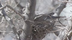 Eurasian collared dove in a nest Stock Footage