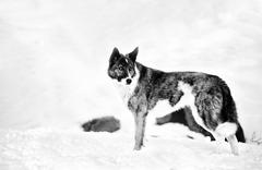 Black and white wolf Stock Photos