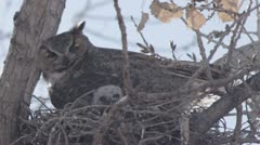 great horned owl panting 4 - stock footage