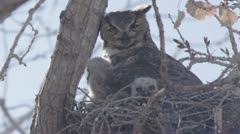 great horned owl panting 2 - stock footage