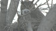 Great horned owl in nest with baby chicks 3 Stock Footage
