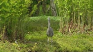 Stock Video Footage of grey heron juvenile (Ardea cinerea) posting at pond between royal ferns