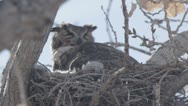 Great horned owl panting Stock Footage