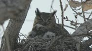 Great horned owls in nest Stock Footage
