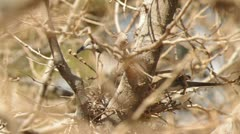 Eurasian collared dove in nest 2 Stock Footage