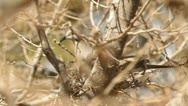 Eurasian collared dove in nest 2 Stock Footage